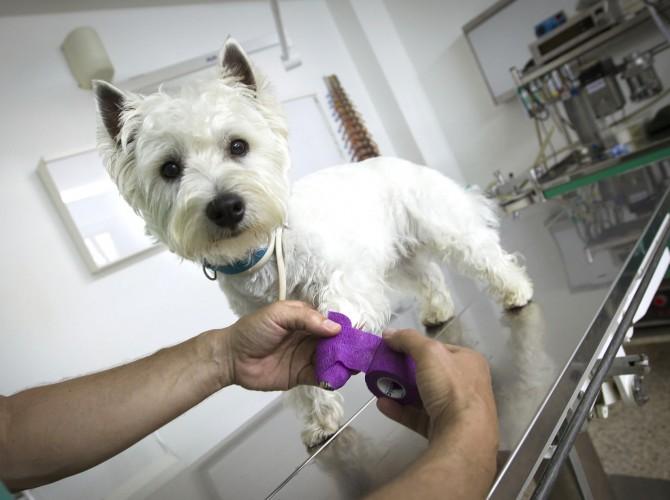 Clinica-Palmer-vendaje-perro