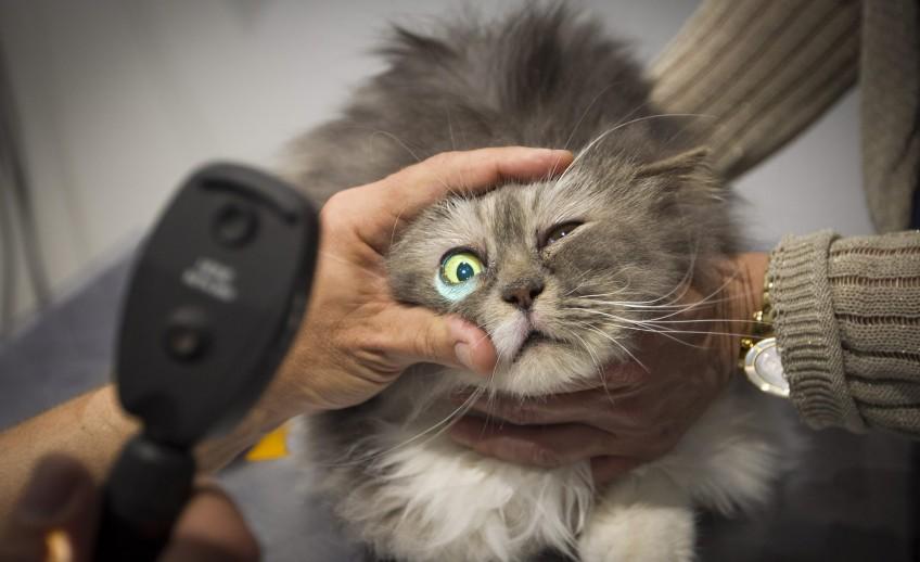 Clinica-veterinario-Palmer-revision-consulta-ojos-gato2