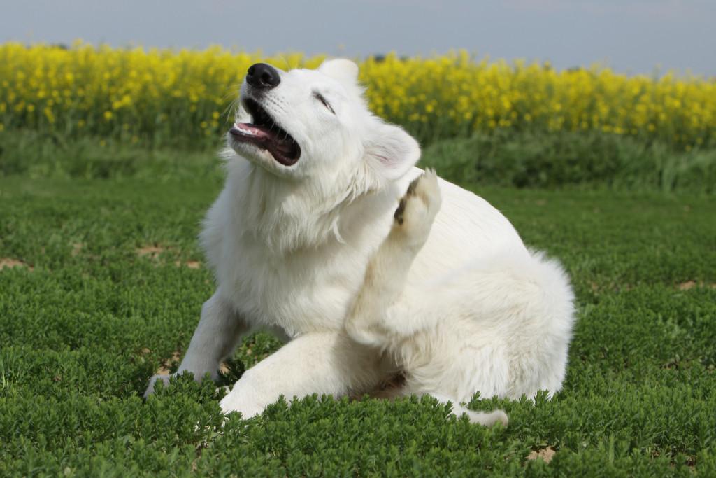 chien qui se gratte - puce, tique,parasites